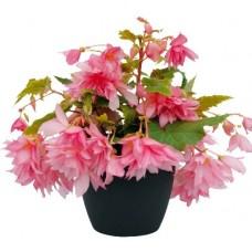 Бегония Belleconia Light Pink