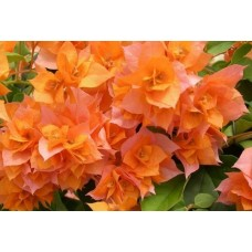 Бугенвиллея (Bougainvillea) Double Orange