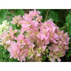 Бугенвиллея (Bougainvillea) Double Pink