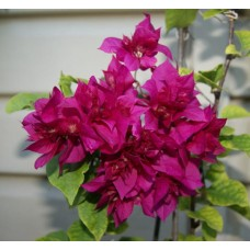 Бугенвиллея (Bougainvillea) Double Purple