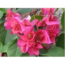 Бугенвиллея (Bougainvillea) Double Lila Rose