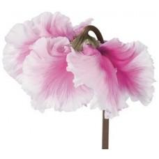 Цикламен Cabrilla Pink Bicolor