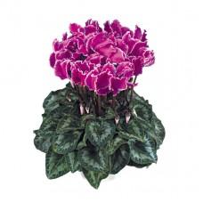 Цикламен Halios® Curly Violet Lisere