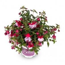 Фуксия Bella Fuchsia® Julia
