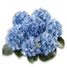 Гортензия крупнолистная Беби Блю (Baby Blue)