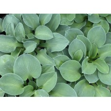 Хоста Блю Маус Йерс (Hosta hybridum Blue Mouse Ears)