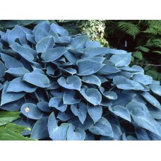 Хоста Халцион  (Hosta hybridum Halcyon)