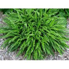 Хоста Стилетто (Hosta hybridum Stiletto)