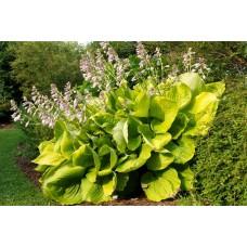 Хоста Сам энд Сабстэнс (Hosta hybridum Sum & Substance)