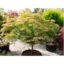Клен веерный Эмеральд Лейс (Acer palmatum Emerald Lace)