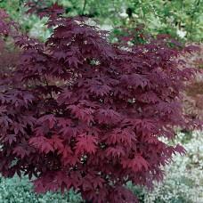 Клён веерный Атропурпуреум (Acer Palmatum Atropurpureum)