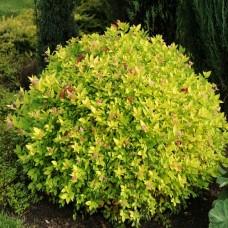 Спирея японская Хуберт Голд  (Spiraea japonica Hubert Gold)