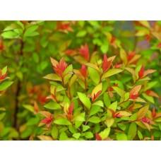 Спирея японская Меджик Карпет  (Spiraea japonica Magic Carpet)