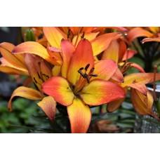 Лилия азиатская Сансет Джой (Lilium asiatic Pot Sunset Joy)