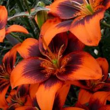 Лилия азиатская Изи Самба (Lilium asiatic Easy Samba)