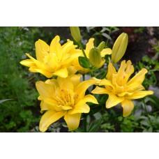 Лилия азиатская Сандью (Lilium Asiatic Sundew)