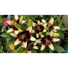 Лилия азиатская Куритиба (Lilium asiatic Curitiba)
