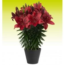 Лилия азиатская Тренди Гавана (Lilium asiatic Pot Trendy Havana)