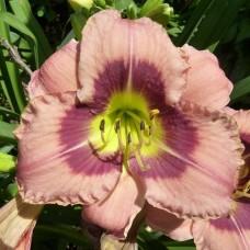 Лилейник Олвейс Афтенун (Hemerocallis hybrida Always Afternoon)