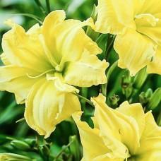 Лилейник Дабл Еллоу (Hemerocallis hybrida Double Yellow)