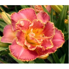 Лилейник Сюзан Пичард Петит (Hemerocallis hybrid Susan Pritchard Petit)
