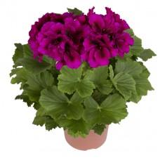 Пеларгония королевская Бурги (Pelargonium grandiflorum Burghi)