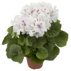 Пеларгония королевская Жасмин (Pelargonium grandiflorum Jasmin)