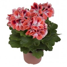 Пеларгония королевская Мандарин (Pelargonium grandiflorum Manderin)