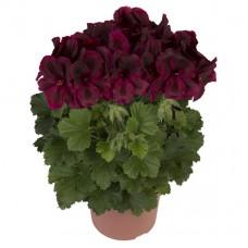 Пеларгония королевская ПАК Аристо Шоко (Pelargonium grandiflorum PAC Aristo Schoko)