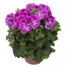 Пеларгония королевская Регалия Лавендель(Pelargonium grandiflorum Regalia Lavendel)