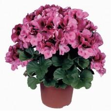 Пеларгония королевская Регалия Пинк (Pelargonium grandiflorum Regalia Pink)