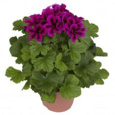 Пеларгония королевская Регалия Пепл (Pelargonium grandiflorum Regalia Purple)