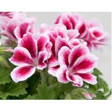 Пеларгония королевская Новита Пинк Биколор (Pelargonium grandiflorum Novita Pink Bicolor)