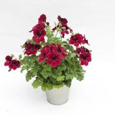 Пеларгония королевская Новита Пёпл Ред (Pelargonium grandiflorum Novita Purple Red)