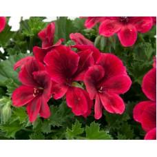 Пеларгония королевская Новита Ред (Pelargonium grandiflorum  Novita Red)