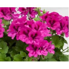 Пеларгония королевская Новита Виолет (Pelargonium grandiflorum  Novita Violet)