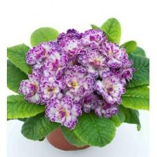 Примула Belarina Lively Lilac
