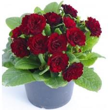 Примула Belarina Valentine