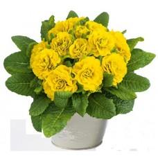 Примула Belarina Day-Glow Yellow