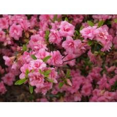Рододендрон вечнозеленый Розебуд (Rosebud)
