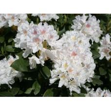 Рододендрон вечнозелёный Каннингемс Уайт (Cunningham`s White)