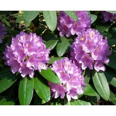 Рододендрон вечнозелёный Грандифлорум (Rhododendron Catawb. Grandiflorum)