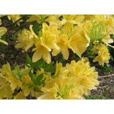 Рододендрон листопадный Желтый (Rhododendron luteum)