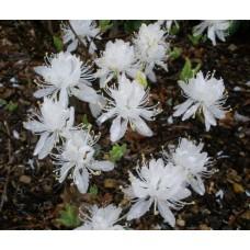 Рододендрон листопадный Канадский белый (Rhododendron canadense Album)