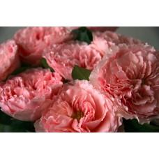 Mayra's Rose (Майра)