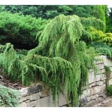 Juniperus communis Horstmann (Можжевельник обыкновенный Хорстманн)