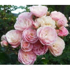 Bouquet Parfait (Букет Парфе), мускусный гибрид