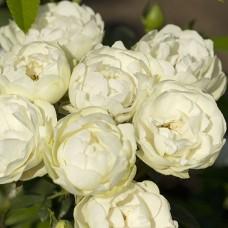 Morsdag White (Морсдаг Вайт), полиантовые