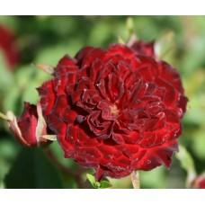 Red Cascade (Ред Каскад), плетистые миниатюрные
