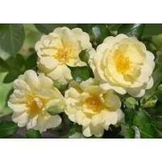 Sunny Rose (Санни Роуз), почвопокровные